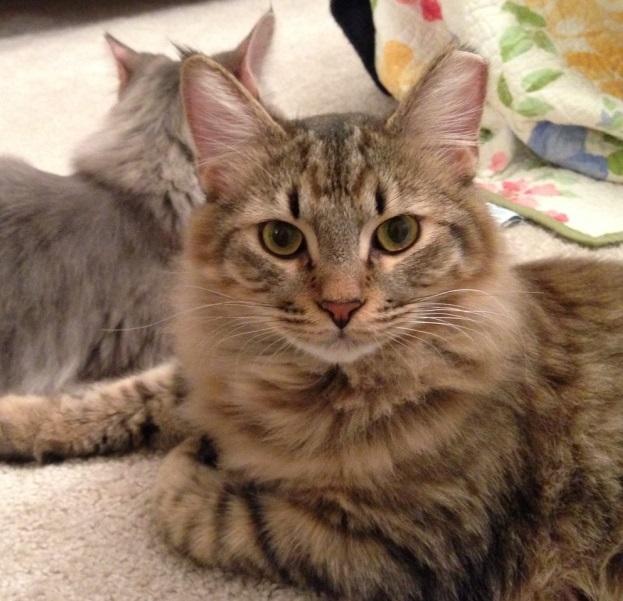 Cat Rescue Mountain View Ca