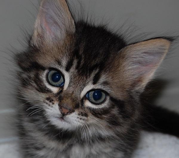 Maine Coon Cat Rescue San Jose Ca